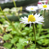 White daisy Stock Images