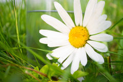 White daisy near glass of water in grass Stock Photography