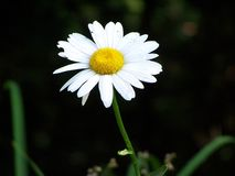 White daisy in outdoor setting Royalty Free Stock Photos