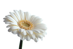 White daisy. Over a white background royalty free stock photography