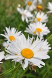 White daisy stock photography