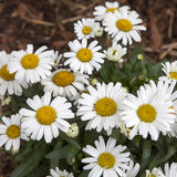 White daisy in the park. Decoration of street. White daisy in the park Royalty Free Stock Image