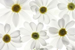 White daisy petals Stock Photos