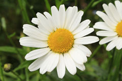 White Daisy. Petals Yellow Stamen Stock Images