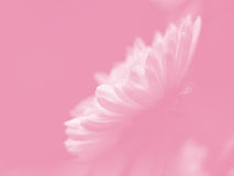 White Daisy on Pink stock image
