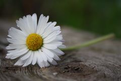 White daisy on a plank. Fresh, delicate daisy on a solid wooden plank. Pure and weightless, ready to flow away. Catch it as it is still here Stock Photography