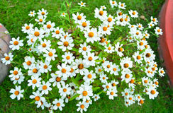 White daisy. In a pot on green grass Royalty Free Stock Images