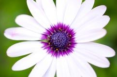 White daisy. With purple centre stock photo
