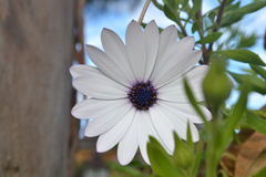 White Daisy. A white daisy with a purple centre in the wild. Backdrop includes the plant, sky and a nearby tree Royalty Free Stock Images