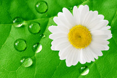 White daisy and raindrops Stock Photography