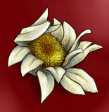 White daisy on red background. Hand drawn pencil sketch of a crumpled white daisy on red background Royalty Free Stock Photos