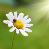 White daisy with red ladybug Stock Image