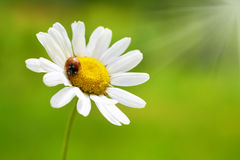 White daisy with red ladybug Royalty Free Stock Image