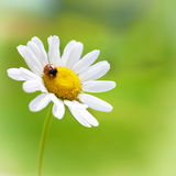 White daisy with red ladybug Royalty Free Stock Images