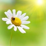 White daisy with red ladybug Stock Photos