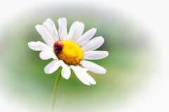 White daisy with red ladybug Royalty Free Stock Photo