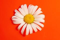 White Daisy on a red orange background with water drops, summer. Colors for the design stock photos
