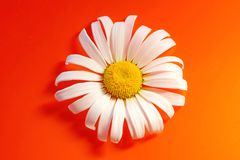 White Daisy on a red orange background with water drops, summer. Colors for the design royalty free stock photo