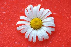 White Daisy on a red orange background with water drops, summer. Colors for the design royalty free stock images