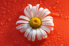 White Daisy on a red orange background with water drops, summer. Colors for the design royalty free stock image