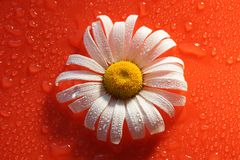 White Daisy on a red orange background with water drops, summer. Colors for the design stock photography