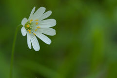White daisy on the right on a blurred background. White chamomile on the right on a blurred green background stock images