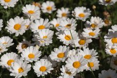 White daisy`s in a sunny day. Royalty Free Stock Photography