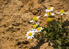 White daisy on the sand Royalty Free Stock Photo