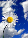 White daisy on sky background. White daisy on cloudy blue sky background Stock Images