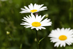 White daisy . spring Royalty Free Stock Photo
