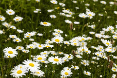 White daisy . spring Royalty Free Stock Images