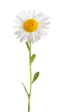 White daisy. With stem isolated on white background Royalty Free Stock Images