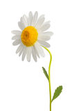 White daisy Royalty Free Stock Photos