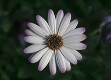 White daisy. A white daisy with subtle pink color changes at the tip of the petals seen from a top - down perspective Stock Photography