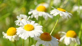 White daisy. Sway in wind stock footage