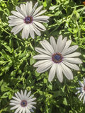 White Daisy trio. Royalty Free Stock Photo