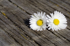 White daisy Stock Image