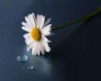 White daisy with water-drops on a dark background. Stock Photo