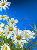 White Daisy Wheels. In front of a deep blue sky Stock Photos