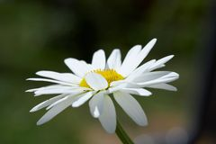 White daisy on a wind Royalty Free Stock Images
