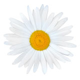 White Daisy with Yellow Center Isolated on White Stock Images