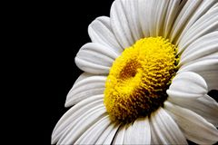 White Daisy Yellow Center. Perfectly White Daisy with yellow center on black background Stock Photography