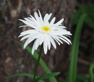 White Daisy With Yellow Centre Royalty Free Stock Photography