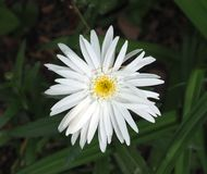 White Daisy With Yellow Centre Stock Image
