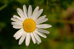White daisy with yellow middle, on the leaves of a drop of dew, on green background of grass. Stock Photos