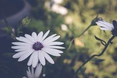 White daisybush flower Stock Photo