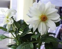 White Dalia Stock Photos