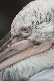 White Dalmatian pelican portrait Stock Images