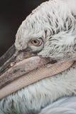 White Dalmatian pelican portrait Stock Images