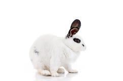 White dalmatian rabbit with black spots Stock Photo